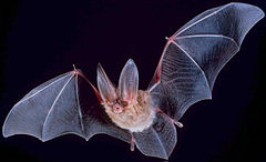 Bat. Credit: Wikipedia