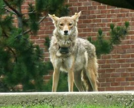 Two Coyotes Relocated From Winnemac Park After People Caught Feeding Them
