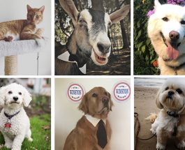 Four Cool Dogs, One Cuddly Cat And A Very Clever Goat All Vie For Edgewater Pet Mayor
