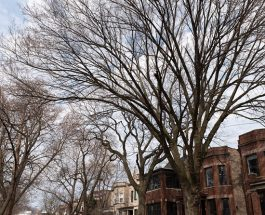 After Community Protest, Ald. Osterman Seeks Law Variance To Save Andersonville Trees